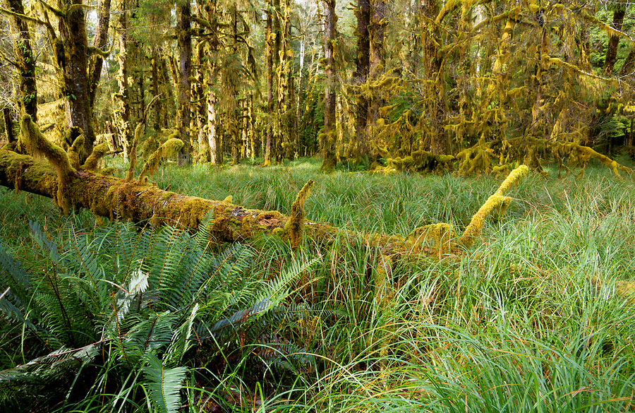 A fallen log in natural grass woodland park and temperate old-growth forest near Sams River Loop Trail, Queets rainforest, Olympic National Park, Jefferson County, Washington, USA