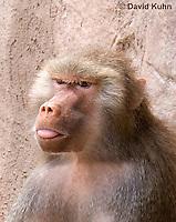 0719-1112  Female Hamadryas Baboon, Papio hamadryas  © David Kuhn/Dwight Kuhn Photography.
