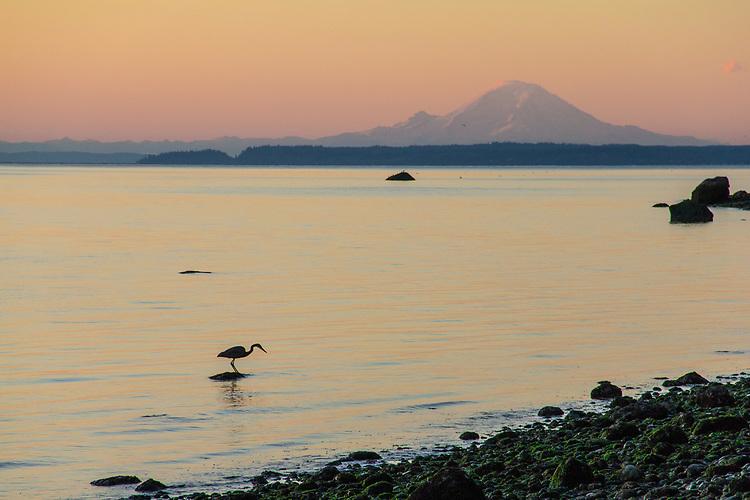 Great Blue Heron, Ardea herodias, Mount Rainier, Marrowstone Island, Admiralty Inlet, Puget Sound, Salish Sea, Washington State, Pacific Northwest, USA, sunrise,