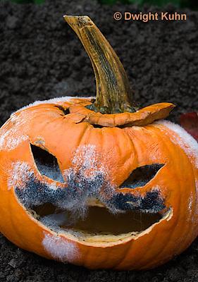 DC09-640z   Jack-o-Lantern Pumpkin placed in garden after Halloween. Molds growing on face,  Black Bread Mold, Rhizopus stolonifer