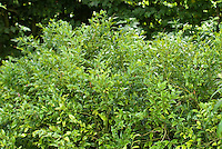 Sarcococca confusa shrub in shade under tree