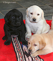 SH37-502z  Lab Puppies - Genetic variation, Black, Yellow and White,  4 weeks old
