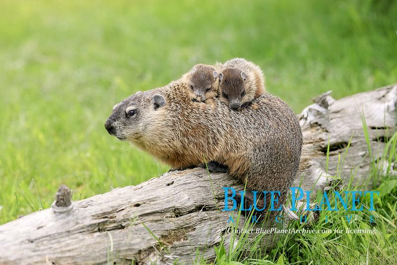 Woodchuck (Marmota monax), adult, carrying two young on back, Minnesota, USA, North America