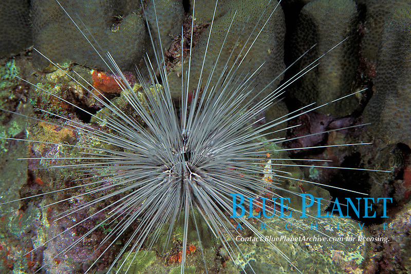 long-spined sea urchin, Diadema antillarum, white colormorph (Echinoderm, Echinoidea, Diadematidae), Dominica (Eastern Caribbean), Atlantic
