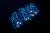 colonial salp chain, Salp sp. (gelatinous planktonic tunicate) with Hawaiian bobtail squid, Euprymna scolopes, endemic species, hiding inside two salps, photographed at night in surface waters of deep ocean, Kailua Kona, Big Island, Hawaii, USA, Pacific Ocean
