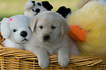 Yellow Labrador retriever (AKC) puppy in a basket full of stuffed animals