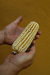 Saw tooth heirloom corn in William Woy Weavers hands.