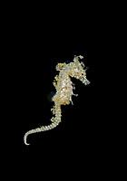 dwarf seahorse, Hippocampus zosterae, swimming, Key Largo, Florida, USA, Atlantic Ocean
