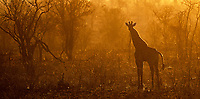 Over time, giraffes have become my favorite large African species.