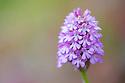 Pyramidal Orchid (Anacamptis pyramidalis) Peak District National Park, Derbyshire, UK. July.