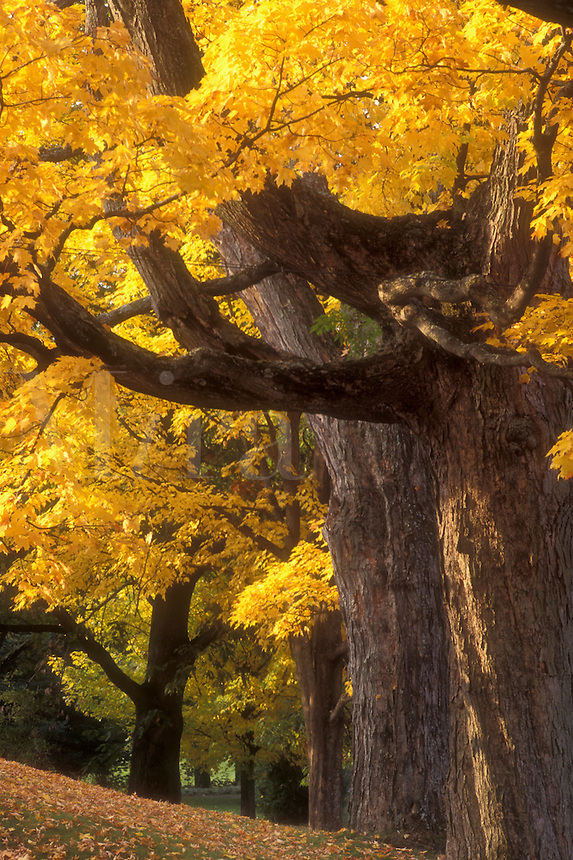 fall, maple trees, VT, Vermont, Montpelier