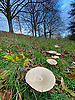 White capped mushroom growing in Kenwood Park, Hampstead. N London.<br />