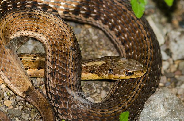 Eastern Garter Snake (Thamnophis sirtalis sirtalis) spring, Crane Creek State Park, Ohio, USA.