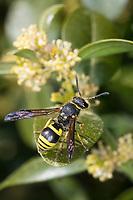 Mauer-Lehmwespe, Mauerlehmwespe, Lehmwespe, Weibchen, Ancistrocerus nigricornis,  Blütenbesuch an Buchs, Buchsbaum, Buxus, Solitäre Faltenwespen, Eumeninae,  potter wasp,  potter wasps, mason wasp, mason wasps