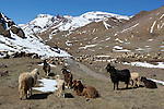 Morocco, High Atlas, Tizi-n-Tichka pass: Goats grazing along pass in the snow covered High Atlas mountains | Marokko, Hoher Atlas, Tizi-n-Tichka Passstrasse: Ziegenherde unterhalb der schneebedeckten Gipfel des Hohen Atlas Gebirges