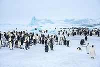 Snow Hill Island, Antarctica. Scenic emperor penguin colony with chicks.