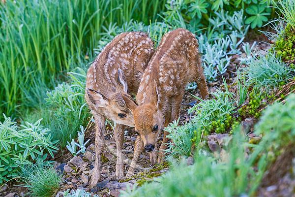 Two Columbian black-tailed deer (Odocoileus hemionus columbianus) fawns.  Pacific Northwest.  Summer.