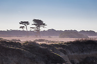 Coastal pines stand along the Atkinson Bluff Trail at Año Nuevo State Reserve on the California coast.