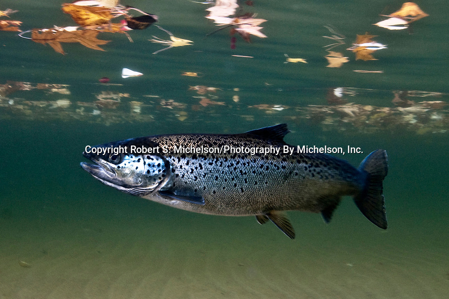Landlock Atlantic Salmon, Lake Winnipesaukee, NH, female swimming under fallen leaves.
