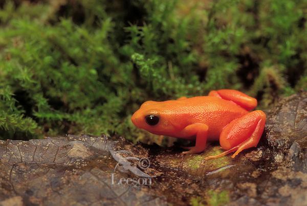 GOLDEN MANTELLA..Madagascar. Captive..Mantella aurantiaca.
