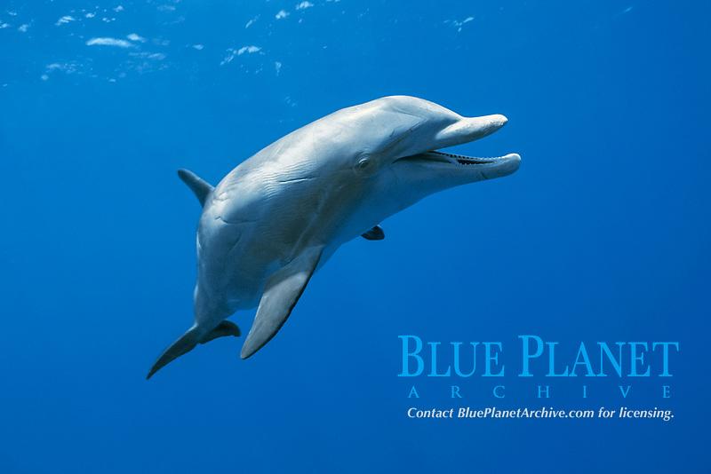 common bottlenose dolphin, Tursiops truncatus, named JoJo - a wild, lone sociable dolphin, or ambassador dolphin, Providenciales, Turks & Caicos Islands, Caribbean Sea, Atlantic Ocean