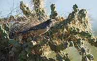 Cactus Wren, Campylorhynchus brunneicapillus, perches near its nest in a cholla cactus in Saguaro National Park, Arizona