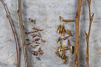 Vergleich der Knospen von Zitterpappel (links) und Balsampappel (rechts). Zitterpappel, Zitter-Pappel, Pappel, Espe, Aspe, Knospen, Knospe, Populus tremula, Aspen, European aspen, quaking aspen, bud, buds, Le Peuplier tremble, Tremble, Tremble d'Europe. Balsampappel, Balsam-Pappel, Knospen, Knospe, Populus balsamifera, Populus tacamahaca, balsam poplar, bam, bamtree, eastern balsam-poplar, hackmatack, tacamahac poplar, bud, buds, tacamahaca, Le Peuplier baumier
