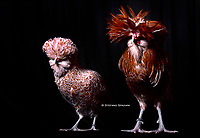 In the photo the race Padovana  chicken female and male.<br /> the Padovana or Padovana dal gran ciuffo is an ancient breed of small crested and bearded chicken from the city and surrounding province of Padova, in the Veneto region of north-eastern Italy, from which it takes its name. Despite continuing discussion surrounding its true origins, it is recognised in Italy as an indigenous Italian breed<br /> Photo Roosters and Hens Ornamental breeds, Italian champion breeds August 2020.