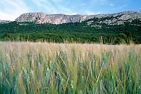 Wheat field next to steep cliffs, Plan-d'Aups-Sainte-Baume, Provence, France.