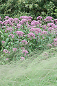 Eupatorium maculatum Atropurpureum Group, late August. Sometimes known as Joe Pye or Joe-pye weed. Many synonyms include: Eupatorium purpureum subsp. maculatum 'Atropurpureum', Eupatorium atropurpureum , Eupatorium fistulosum 'Atropurpureum', Eupatorium maculatum 'Atropurpureum', Eupatorium purpureum 'Atropurpureum', Eupatorium purpureum var. atropurpureum.
