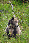Yellowstone grizzly bear Raspberry sits in a field.