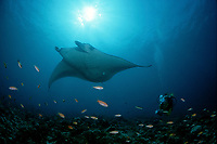 Manta ray and Scuba diver, Manta alfredi, Malediven, Maldives Islands, Indian Ocean