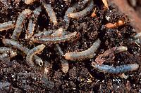 Märzfliege, Märzfliegen, Larve, Larven, Märzhaarmücke, Markusfliege, Markushaarmücke, Bibio spec., Haarmücken, Bibionidae