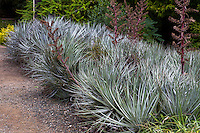 Silver gray foliage bromeliad, Puya - Pitcairnia ferruginea) lining path at University of California Botanical Garden