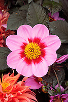 Dahlia (Happy Single Series) 'Date'' single pink with red center, dark black purple foliage leaves