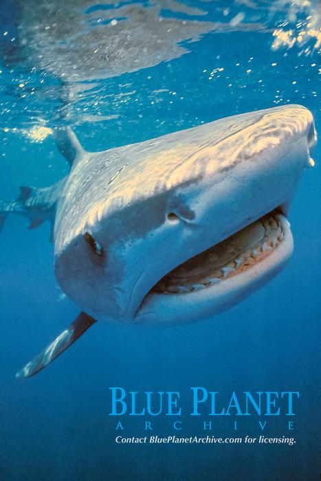 tiger shark, Galeocerdo cuvier, Australia, Pacific Ocean