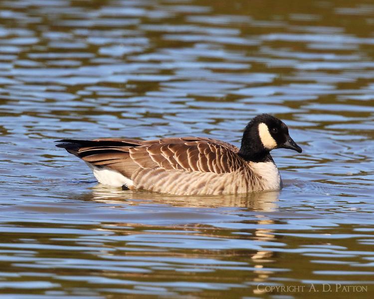 Cackling goose adult