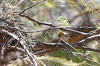 0703-1104  Verdin Building its Nest (Titmouse, Penduline Tit), Bag Nest (Hanging Nest or Dome Nest), Auriparus flaviceps  © David Kuhn/Dwight Kuhn Photography