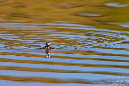 Pied-Billed Grebe Chick Alone on Water, Washington