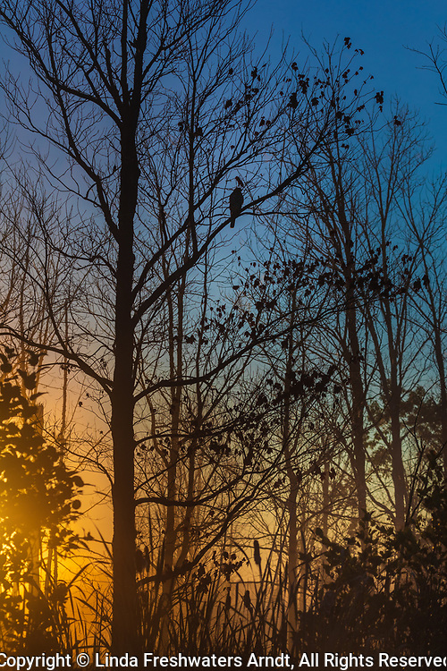 A hawk is perched in a tree as the sun rises over a lake in northern Wisconsin.