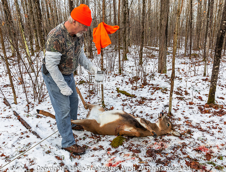 Wisconsin hunter preparing to field dress a white-tailed buck in a winter forest.
