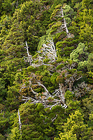 Mountain cedar trees and native forest, Egmont National Park, North Island, New Zealand, NZ