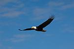A bald eagle in flight at Kachemak Bay in Homer, Alaska.