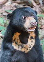 Borneo Sun Bear