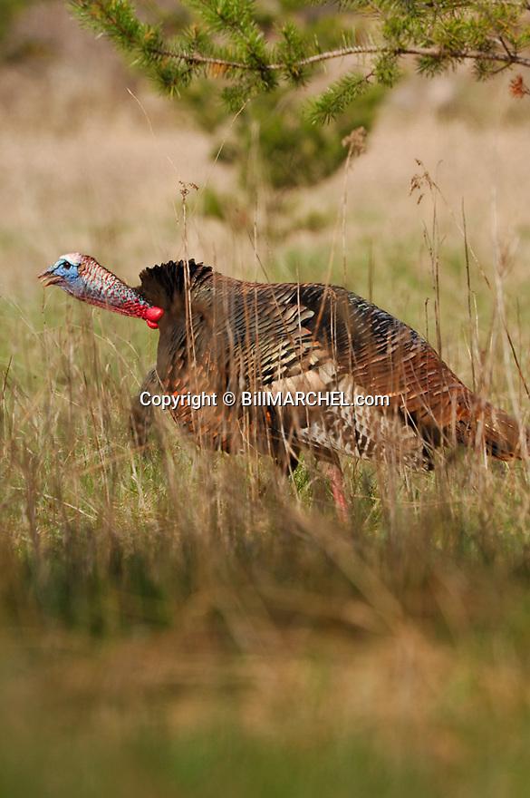 01225-077.12 Wild Turkey (Digital) tom is gobbling in grassy field during spring.  V4L1