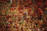 A hunting Fox's rusty red coat blends into its autumn forest environment.  Minnesota, United States