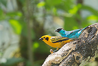 Golden tanager, Tangara arthus goodsoni (left), and golden-naped tanager, Tangara ruficervix. Tandayapa Valley, Ecuador