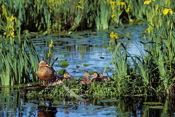 Mallard duck family--hen with ducklings--resting on old log among yellow iris.  Pacific N.W.  June.  (Anas platyrhynochos)