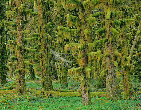 Rain forest, moss covered sitka spruce trees, Olympic National Park, Washington.