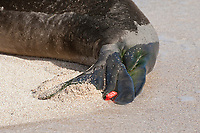 flipper tag on Hawaiian monk seal, Neomonachus schauinslandi, Critically Endangered endemic species, west end of Molokai, USA, Pacific Ocean